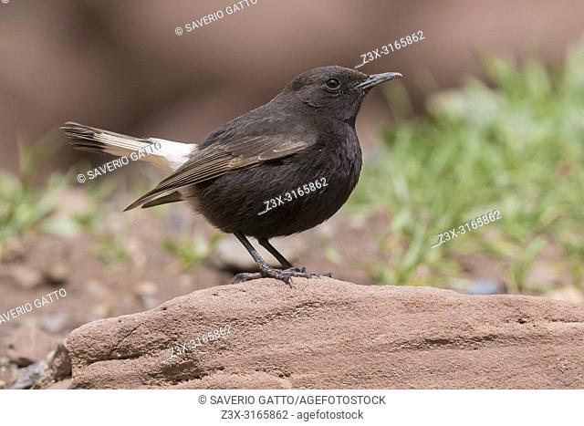 Black Wheater (Oenanthe leucura syenitica), side view of a male standing on a rock in Morocco
