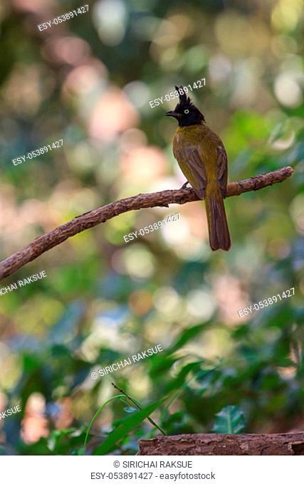 Beautiful bird Black-crested Bulbul , Pycnonotus melanicterus perched on a branch