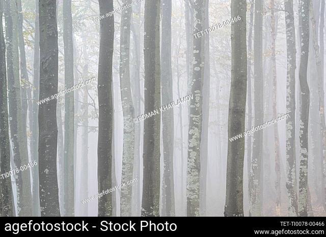 Ukraine, Zakarpattia region, Carpathians, Forest, Borzhava, Row of trees in woods in morning mist