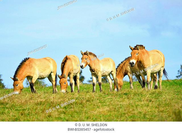 Przewalski's horse (Equus przewalski), herd in a meadow, Germany, Bavaria, Bavarian Forest National Park