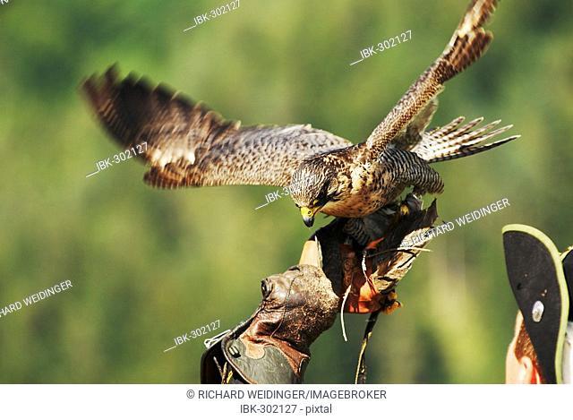 Gyrfalcon (Falco rusticolus) landing on falconers hand
