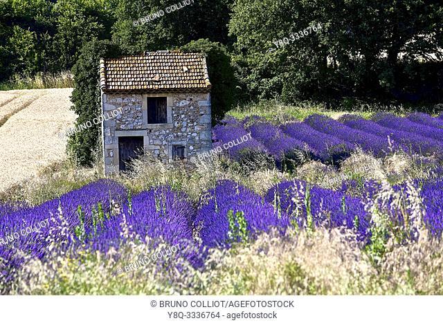 lavender fields, the Garde Adhemar. the drôme, france