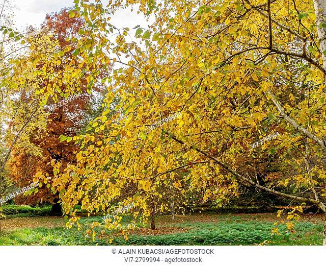 Black Birch 'Heritage', Bald-Cypress tree, Mediterranean cypress, Arboretum de l'Ecole du Breuil, Paris, France
