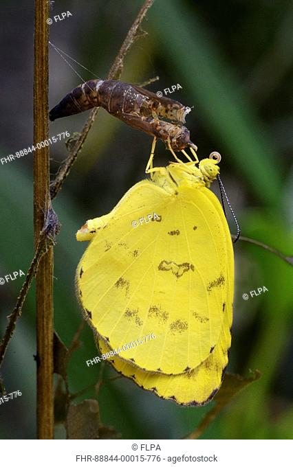 Newly emerged Common Grass Yellow butterfly (Eurema hecabe simulata) hanging at pupal case for warming up, July-Trivandrum,Kerala,India