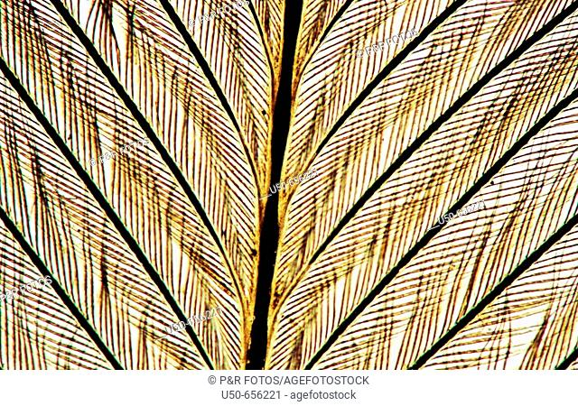 Bird feather, 100 X  optical microscope, photomicrography , histology