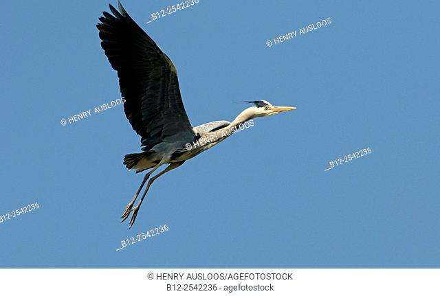 Grey Heron (Ardea cinerea) in flight. France