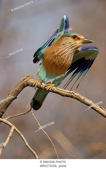Bird , Indian Roller Coracias benghalensis , Ranthambore National Park , Rajasthan , India