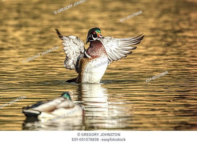 A wood duck flaps its wings in the water at Cannon Hill Park in Spokane, Washington