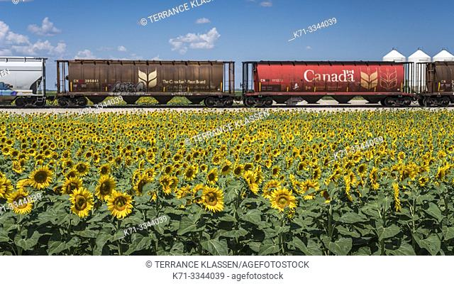 Grain cars and a blooming sunflower field near Brunkild, Manitoba, Canada