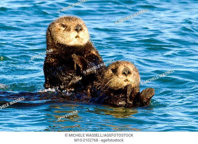 Sea Otters swimming in Moss Landing, California, USA