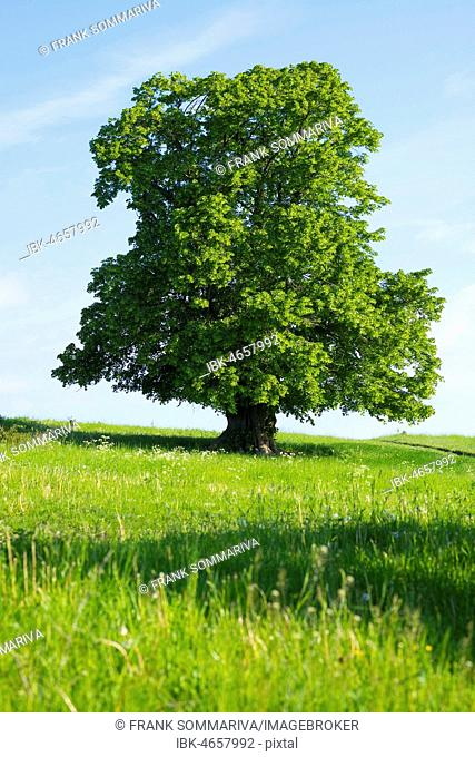 400 years old large-leaved linden (Tilia platyphyllos) in green meadow, solitary tree, Thuringia, Germany