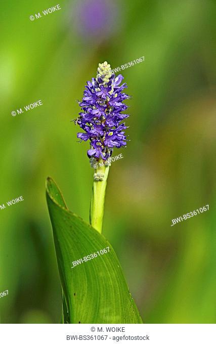 Pickerel Weed, Pickerelweed (Pontederia cordata), flower, USA, Florida