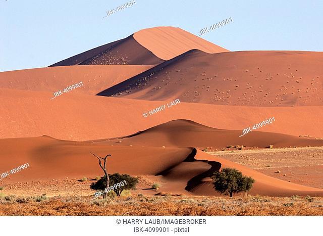 Sand dunes, Camel thorn trees (Vachellia erioloba) at the front, Sossusvlei, Namib Desert, Namib-Naukluft National Park, Namibia