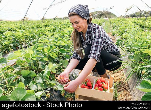 Smiling farmer harvesting strawberries in organic farm
