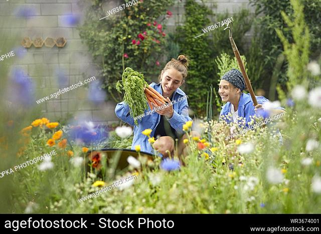 Young woman picking carrots while working with friend in vegetable garden