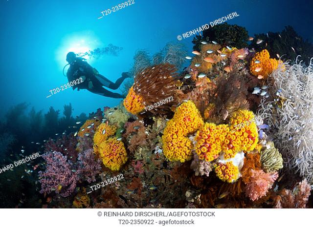 Scuba Diver and colored Coral Reef, Triton Bay, West Papua, Indonesia