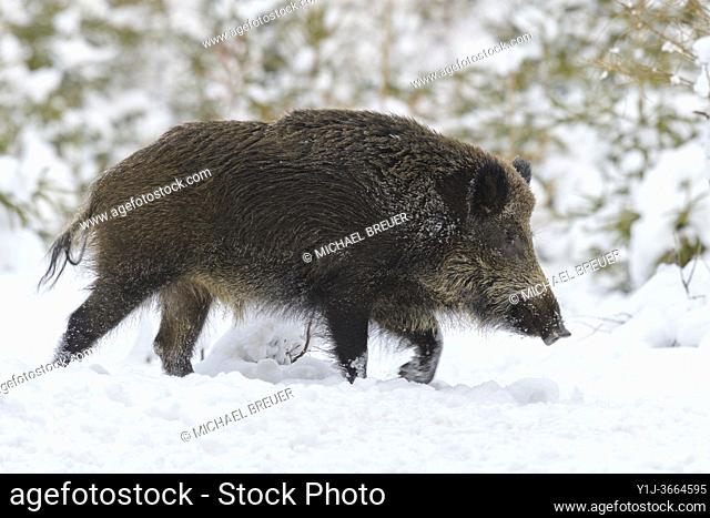 Wild boar (Sus scrofa) in wintertime, Tusker, Germany, Europe
