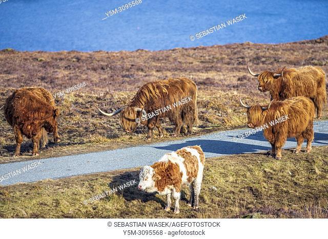 Highland cattle, Strathaird peninsula near Elgol, Isle of Skye, Scotland, Europe
