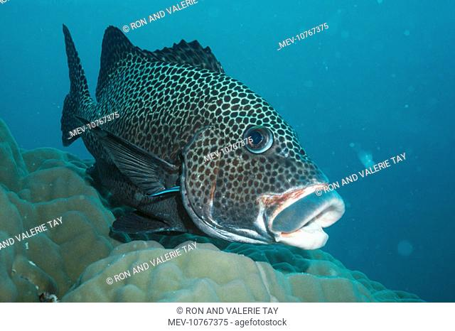 Cleaner Wrasse - Cleaning the Spotted Sweetlip (P. chaetodonoides) (Labroides dimidiatus)