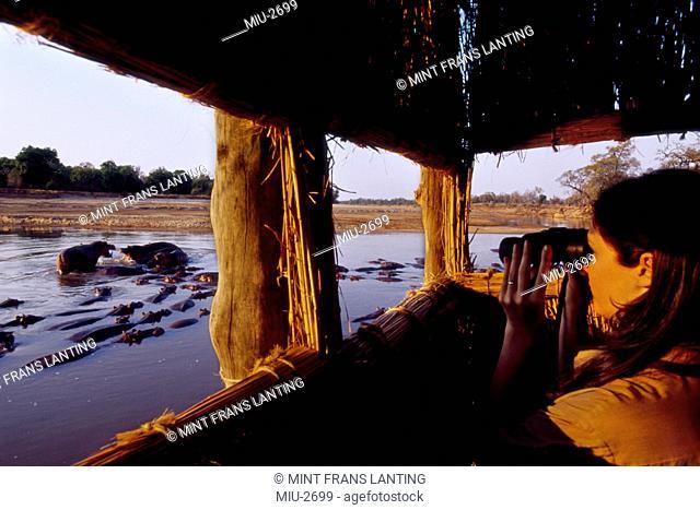 Tourist watching hippos, Hipopotamus amphibus, Luangwa Valley, Zambia