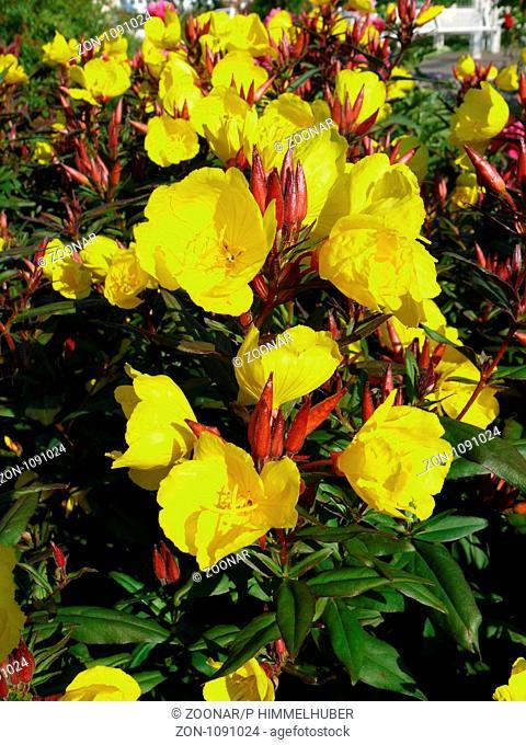 Oenothera tetragona, Nachtkerze, suncup