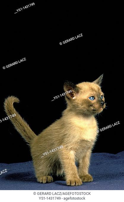 TONKINESE DOMESTIC CAT, KITTEN AGAINST BLACK BACKGROUND