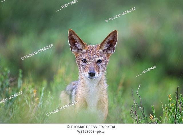 Black-backed Jackal (Canis mesomelas). In the rain. During the rainy season in green surroundings. Kalahari Desert, Kgalagadi Transfrontier Park, South Africa
