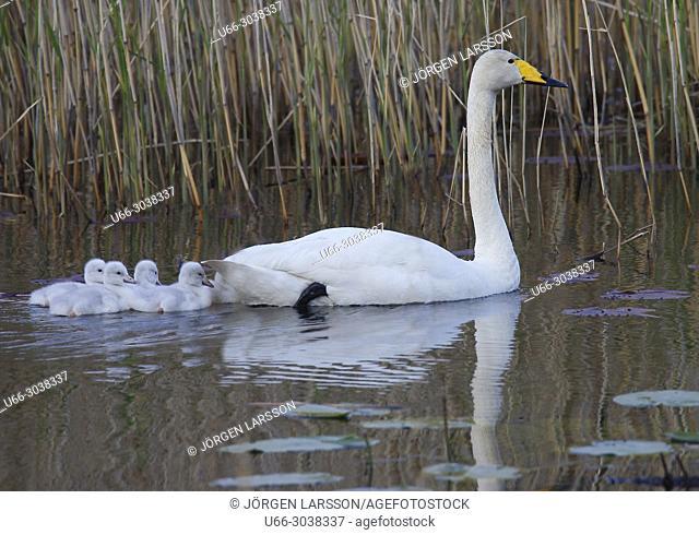Whooper Swan (Cygnus cygnus), Sodertalje, Sodermanland, Sweden