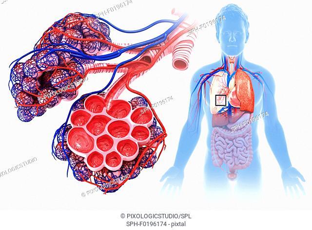 Male alveoli and capillaries, illustration