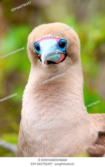 Portrait of Red-footed Booby (Sula sula) on Genovesa island, Galapagos National Park, Ecuador