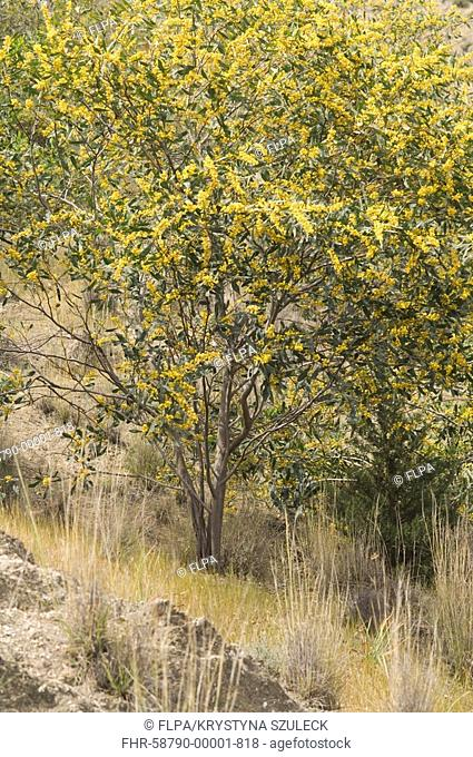 Golden Wattle Acacia pycnantha flowering, Soli, Northern Cyprus, may