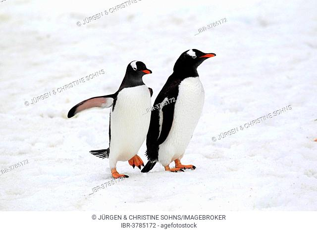Gentoo Penguins (Pygoscelis papua) pair, Half Moon Island, Antarctica