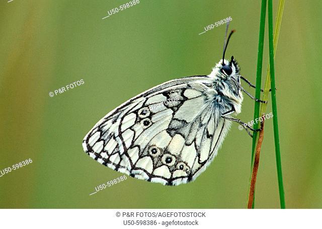 Melanargia galathea,  Marbled White, Lepidoptera: Satyridae, Bonn , Germany