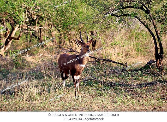 Bushbuck (Tragelaphus scriptus sylvaticus), adult male, Kruger National Park, South Africa