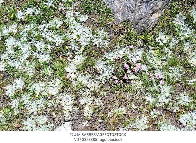 Estrella de las nieves (Plantago nivalis) is a perennial herb endemic to Sierra Nevada. At right Armeria splendens (pink flowers)