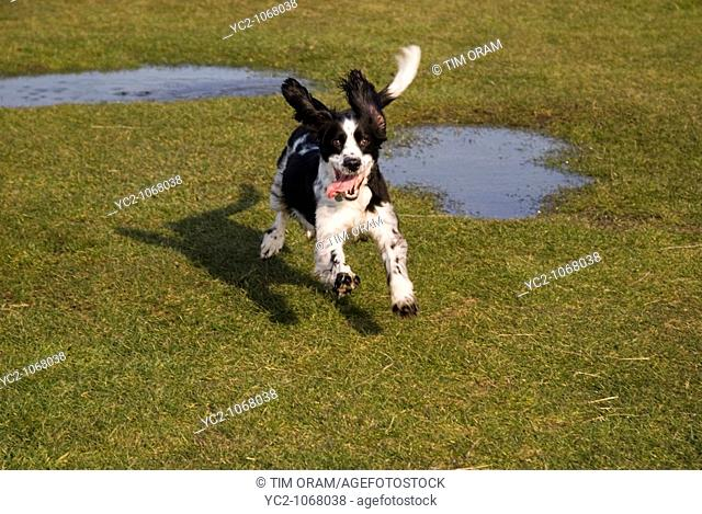 An English Springer Spaniel outdoors in the Uk