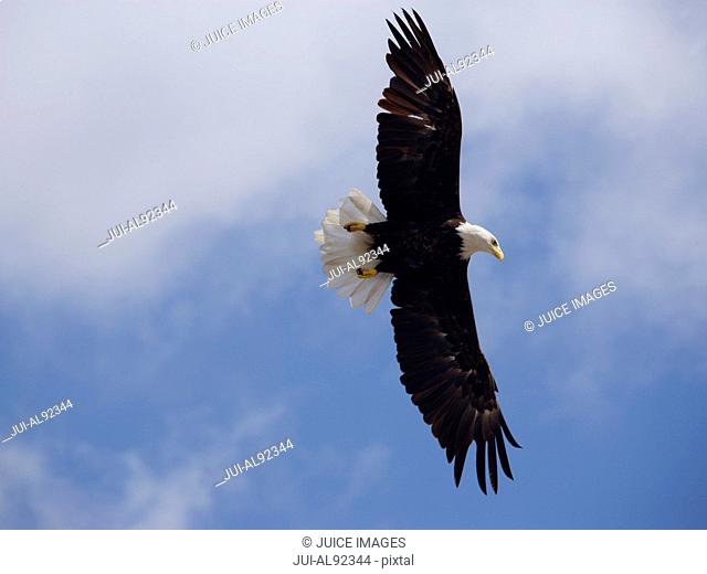 Low angle view of Bald Eagle in flight