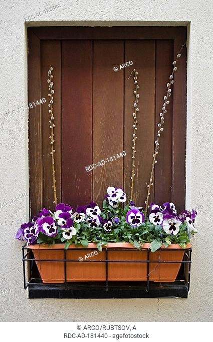 Potted Pansies on windowsill, Viola spec