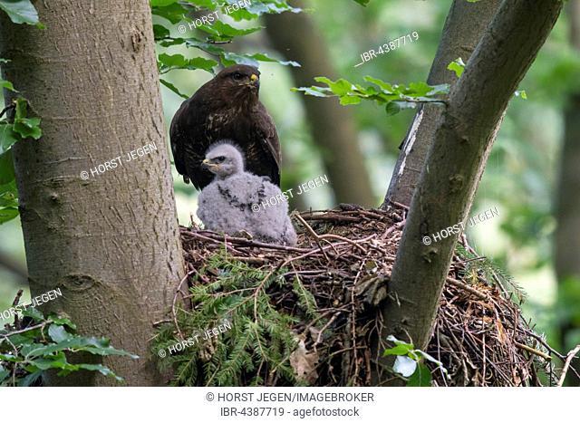 Common buzzard (Buteo buteo) with young bird, at nest, Rhineland-Palatinate, Germany