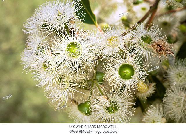 NATIVE WESTERN AUSTRALIAN CORYMBIA CALOPHYLLA TREE