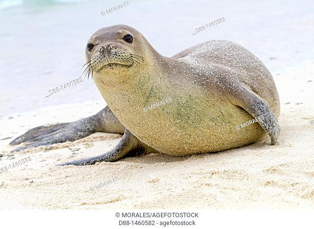 Midway , Sand Island , Hawaiian monk seal  Monachus schauinslandi