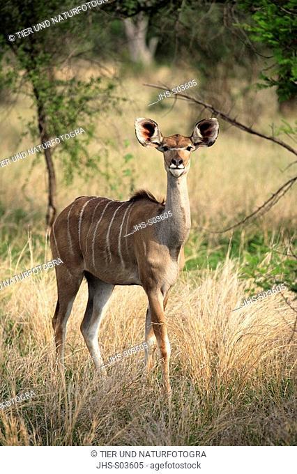 Greater Kudu, Tragelaphus strepsiceros, Kruger National Park, South Africa, adult female