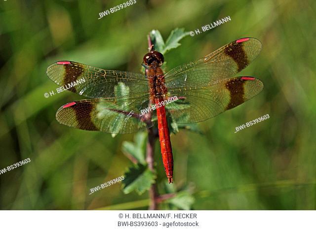 banded sympetrum (Sympetrum pedemontanum), male , Germany