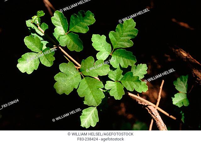 Pacific Poison Oak (Toxicodendron diversilobum), California, USA