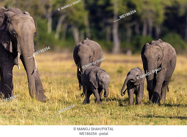 African elephant youngsters playing in the herd. Masai Mara National Reserve, Kenya