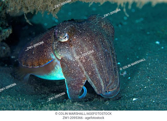 Broadclub Cuttlefish (Sepia latimanus) on black sand at Joleha dive site in Lembeh Straits in Sulawesi in Indonesia