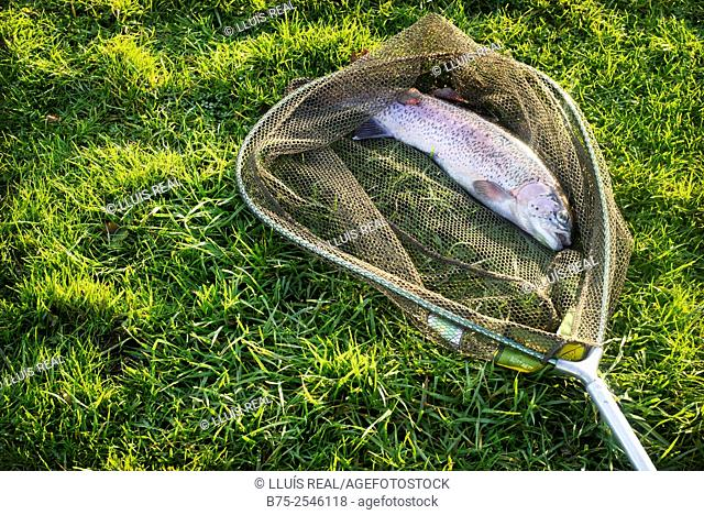 A trout net with a freshly caught trout on the grass. River Wharfe, Yorkshire Dales, Skipton, England, UK, Europe