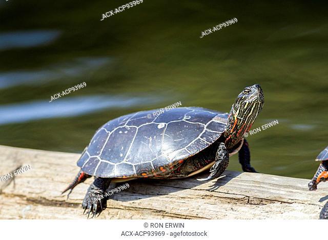 Midland Painted Turtle (Chrysemys picta marginata) sunning, Killarney Provincial Park, Ontario