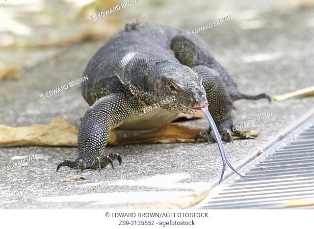 Monitor lizard, Singapore