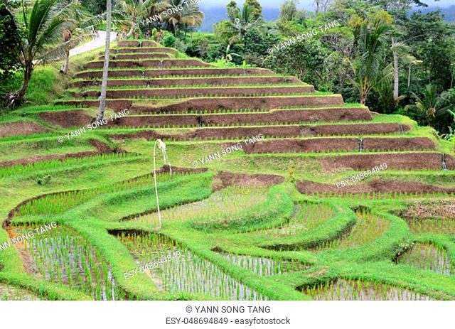 Jatiluwih rice terrace with sunny day and green jungles in Ubud, Bali